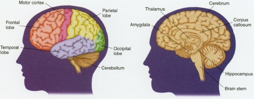 The brain has a left hemisphere and a right hemisphere covered by a layer of nerve tissue called the cerebrum (cerebral cortex). Underneath the cerebrum are other brain structures, including the amygdala, thalamus, corpus callosum, and hippocampus, all of which play important roles in human behavior and emotions. The cerebellum (mammalian brain) and the brain stem (reptilian brain) are believed to be the earliest structures that developed in human and animal evolutionary history. The cerebrum is the larger part of the brain, especially in humans. Each half of the cerebrum has four different lobes. The temporal lobes control speech. The occipital lobes control vision. The parietal lobes control movement. And the frontal lobes control ideas, thinking, planning, and the most complex parts of human emotions and behavior.