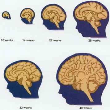 During the 40 weeks (nine months) of pregnancy, the fetal brain increases rapidly in size and complexity. In humans, the cerebrum is the largest part of the brain.