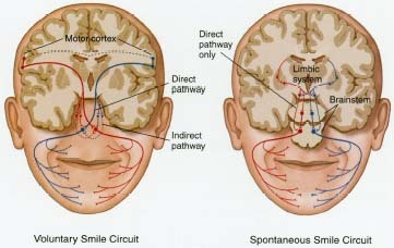 The facial muscles involved in emotional expression are governed by nerves following a complex system of direct and indirect pathways to and from the motor cortex (voluntary smile circuit under conscious control) and the limbic system and brain stem (spontaneous smile circuit not under conscious control). This may explain why people's faces can express emotions like happiness, fear, and disgust without their being aware of it.