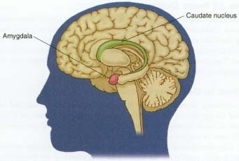 This is a cross-section of a brain showing the amygdala and caudate nucleus—the structures believed to be linked to negative emotions like fear and anger. The amygdala is believed to be fully developed by the time a baby is born. The prefrontal cortex (the front of the brain) where thinking and planning take place, takes longer to mature. This may explain why it takes time for children to learn how to control their fears.