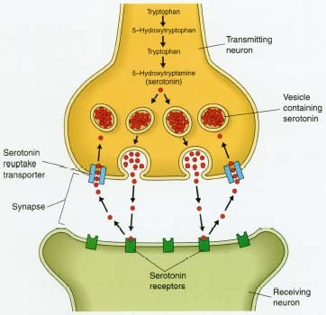 Psychiatric medications can help correct imbalances in the neurotransmitters that affect mood and behavior. Selective serotonin reuptake inhibitors (SSRIs), such as fluoxetine (Prozac), fit into the serotonin neuroreceptors on neuron dendrites. This blocks serotonin from entering the neuron and keeps it active for longer periods of time in the synaptic gaps between transmitting and receiving neurons. Serotonin (5-Hydroxytryptamine) is a calming neurotransmitter that is manufactured in nerve cells from the amino acid tryptophan. Turkey is one good source of tryptophan, which may help explain why people often feel relaxed and sleepy after Thanksgiving dinner.