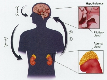 The body's stress hormone response: When the brain perceives stress, the hypothalamus releases corticotropin-releasing factor (1), which triggers the release of adrenocorticotropin (ACTH) (2) from the pituitary gland. ACTH (2) travels through the bloodstream and (along with signals from the brain sent through the autonomic nervous system) stimulates the adrenal glands to release cortisol and epinephrine into the bloodstream (3). Cortisol and epinephrine (3) help provide energy, oxygen, and stimulation to the heart, the brain, and other muscles and organs (4) to support the body's response to stress. When the brain perceives that the stress has ended, it allows hormone levels to return to their baseline values.