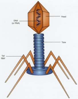 This diagram shows the structure of a virus the smallest infectious