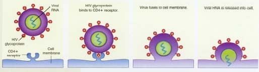 The HIV virus attacks T-helper cells, or CD4+ cells, by fitting itself into the cell like a key in a lock. Once it has invaded, it can use its own RNA as a template to make copies of itself, multiplying and traveling through the body. This process destroys the body's own T cells over time; as the T-cell count falls, the body's resistance to germs and disease declines.