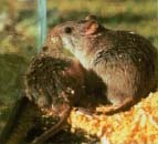 Mice and rats shed hantavirus in their saliva, urine, and droppings. The rice rat (seen here) primarily inhabits the southeastern United States and carries the Bayou virus, a form of the disease that has been found in Louisiana.