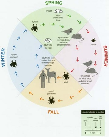 The life cycle of a tick takes 2 years to complete. In the spring, eggs hatch into larvae, which feed on mice, birds, and small mammals until the fall, when they become dormant. The following spring they molt into nymphs, which feed through the summer and then become adults in the fall. At any of these stages of growth, ticks may become infected with Lyme disease bacteria by feeding on infected animals; as adults they may feed on humans and transmit the bacteria that cause the disease.
