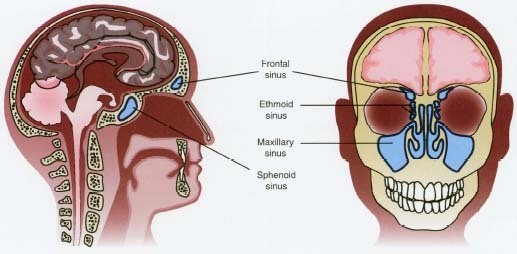 There are four pairs of sinuses in the human skull.