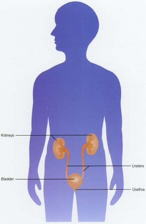 The organs of the urinary tract, any of which may become the site of infection.