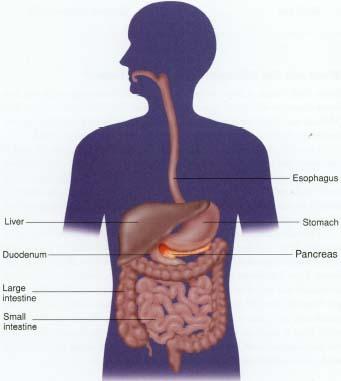 Human Body Pancreas