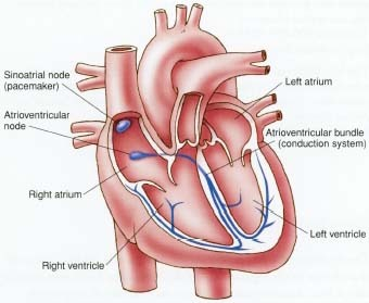 The sinoatrial node is the heart's pacemaker.