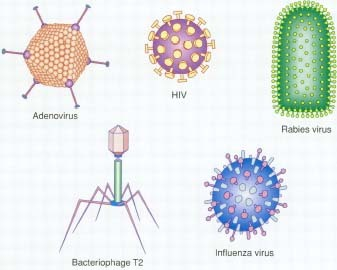 Viral Infections - how long, body, last, causes