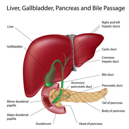gallstones - body, causes, what does the gallbladder do?, Human Body